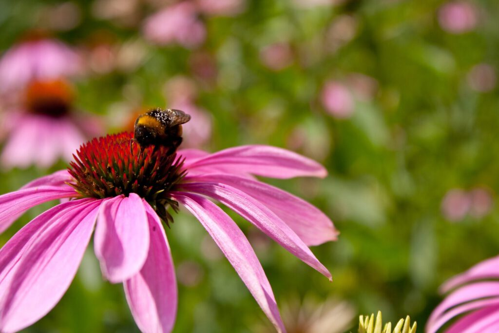 closeup-shot-purple-coneflower-with-bee-center-1536x1024